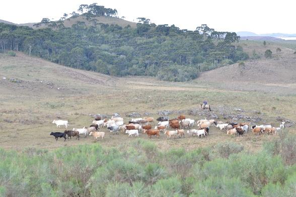 queijo serrano gado