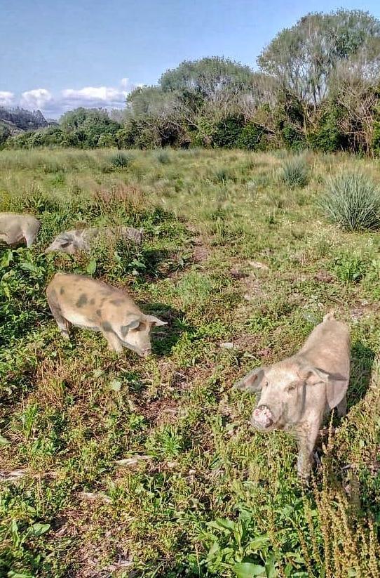 Criação de porcos nos Campos de Cima da Serra Catarinense _ Foto_ Pedro Xavier 4.jpeg